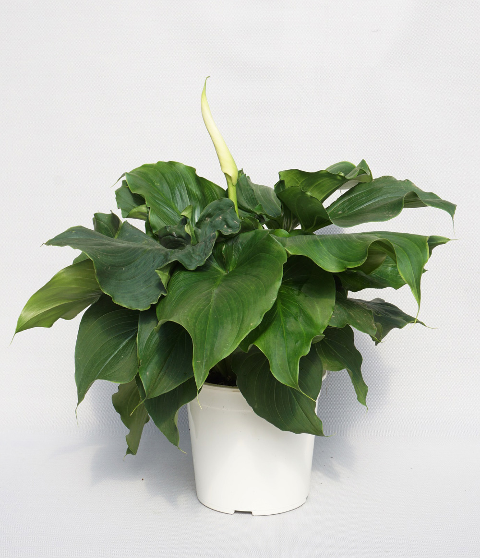 Zantedeschia semillero laimund s l plantas for Planta ornamental blanca nieves
